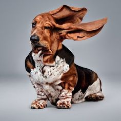 yes, but lots of creases and wrinkles too! sweet and precious basset hound! ps, must have been some serious wind to get those very long ears up in the air like this pin shows! Baby Animals, Funny Animals, Cute Animals, Animal Memes, Funny Dogs, Cute Dogs, Vogel Silhouette, Hound Dog, Funny Animal Pictures