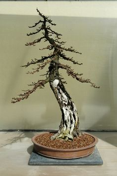 Most new bonsai tree owners don't know how to care for their bonsai. It's not difficult to grow a bonsai, but it requires knowing these fundamentals about how to evaluate and take care of them. Succulent Bonsai, Bonsai Plants, Bonsai Garden, Succulents, Bonsai Trees, Bougainvillea Bonsai, Silver Fir, Pre Bonsai, Irrigation