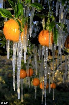 Icicles in Florida's orange groves: Temperatures in Florida dipped well below zero on Tuesday night (1/3/2012), and farmers awoke to find icicles hanging from their oranges.