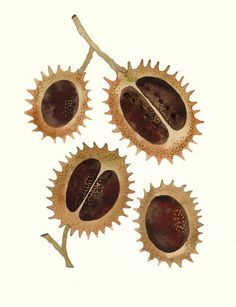Just talking about conkers with a friend and I found this! Plant Illustration, Botanical Illustration, Graphic Illustration, Conkers, Chestnut Horse, Tattoo Project, Seed Pods, Fruit Art, Autumn Art