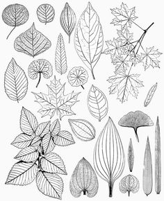 LEAVES Leaf Drawings Victorian NATURE par TwistedPapers sur Etsy