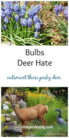 Bulbs deer hate with Sensible Gardening. Many lovely choices for your garden.