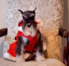 .aww what an adorable picture is this beautiful little mini Schnauzer, so darling