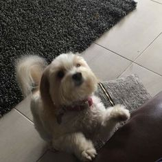 Nellie #MaltipooLove #maltipoosofinstagram #maltipoo #dogsofinstagram #instagramdogs #dogs #maltese #dogsofig #dog #petsofinstagram#doglovers #picoftheday #pets #maltesecavalier#malteseofinstagram#malteseofficial #dogoftheday#barkhappy#lacyandpaws#weeklyfluff#odefix#furfriend#ilovemaltese#buzzfeed#buzzfeedanimals#mydogiscutest #mydog#instapic #instagramdogs#love  #loves_animals by fentiger379