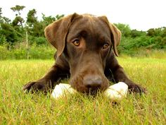 Chocolate Labrador Photo:  This Photo was uploaded by NaruMolly. Find other Chocolate Labrador pictures and photos or upload your own with Photobucket fr...