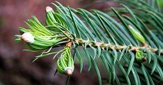 Every spring firs and spruces drift new branches. These contain many healthy ingredients that you can use in the kitchen. Spices And Herbs, Wild Nature, Medicinal Herbs, How To Increase Energy, Hair Health, Herbal Medicine, Natural Healing, Superfood, Mother Nature
