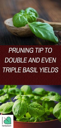 Pruning basil regularly will increase production and and help grow a bushy plant instead of a tall spindly plant. Here's how I like to prune basil to ensure new growth so I always have an abundance around the garden and kitchen