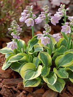 Frosted Mouse Ears Hosta... I have ALWAYS wanted to know what my host as are called.. I LOVE the flowers and what a cute name too... #flores