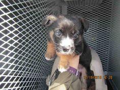 Australian Shepherd dog for Adoption in Santa Rosa, CA. ADN-468689 on PuppyFinder.com Gender: Female. Age: Adult