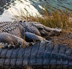 Check out this beauty taken by Jerry Waits 🐊 Our island is full of so many natural wonders! Forest Habitat, Bald Head Island, Natural Wonders, Wildlife Photography, Habitats, Elephant, Tours, Beach, Nature