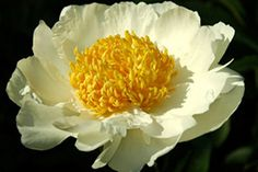 'Moon of Nippon'  Yksinkertainen. Vaaleankeltainen keskusta. Isot kukat, vahvat varret.  Pikkutarhan edessä.