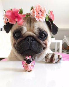 Look it's a Mini Me! #Pug