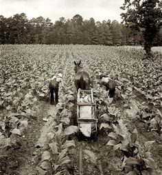 "Tobacco farm (Dorothea Lange for the Farm Security Administration 1939). It was the ""cash crop"" all through Ky,Tn, and Carolina's."