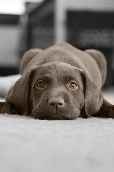 ♔ weimaraner puppy