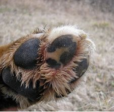 paw wax recipe to protect from snow buildup, ice and salt ... good to know