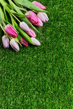 beautiful pink tulips on green grass background