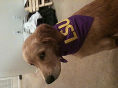 AWWWW THAT LOOKS JUST LIKE MY DOG!!!!! PS GO TIGERS :)