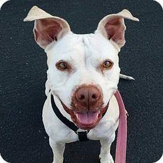 Santa Maria, CA - Pit Bull Terrier. Meet Weda, a dog for adoption. http://www.adoptapet.com/pet/14008101-santa-maria-california-pit-bull-terrier