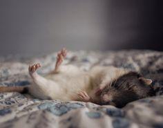 rats...so misunderstood! Love my ratties!