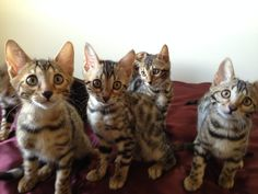 Cute Group Picture at 11 Weeks of Age.  From Left to Right:  Prince Kristoff, Princess Anna, Prince Olaf, and Queen Elsa.  Adorable Bengal Kittens =^..^=