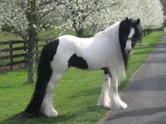 Gypsy Vanner If I was a horse lover, this would be my horse. Big Horses, All About Horses, Horse Love, Work Horses, Most Beautiful Horses, All The Pretty Horses, Stunningly Beautiful, Beautiful Creatures, Animals Beautiful