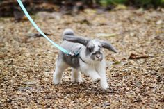 Young mini lop out for a walk! Looks just like my rabbit Cute Baby Bunnies, Funny Bunnies, Mini Lop Bunnies, Dwarf Bunnies, Cute Little Animals, Cute Funny Animals, Pet Rabbit, Rabbit Food, Mini Lop Rabbit