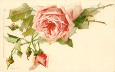 pink roses ~ by Catherine Klein