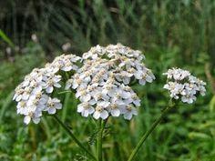 Can take shade - Common Yarrow (Achillea millefolium)