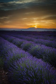 Lavender field Just before dawn near Valensole, Provence France. © Brian Jannsen Photography