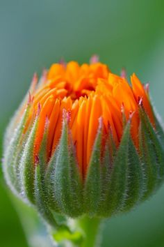 Calendula flower ~ opening ~ The Bright Calendula (Calendula officinalis) is also know as the pot marigold. (Not to be confused with regular mariglods). This flower is versatile and potent in its' medicinal qualities. Having antibacterial and anti-inflammatory properties.