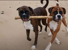 Boxers caring is sharing!!! Woof!!!