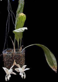 awww.orchidcourt.com_reichenbachiana0512.jpg