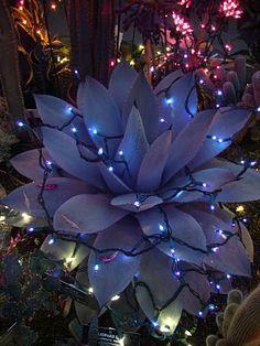Christmas agave
