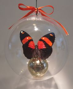"""Callicore cynosura""  from Peru             80mm clear ornament $20.00.                 100mm $25.00 US Butterfly Ornaments, Clear Ornaments, Peru, Christmas Bulbs, Holiday Decor, Crafts, Turkey, Manualidades, Christmas Light Bulbs"