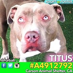#SaveTITUS - #A4912792 SHY STUNNING CUTIE-SURRENDERED-'B' Temp-Test-❌NEEDS EVERYTHING❌-In 19 DAYS on 02/08  VOLUNTEER NOTES TITUS is a superb two-year-old fawn-and-white neutered male Pit Bull mix left at the Carson Animal Center on January 20. Titus scored an amazing B on his temperament test! Weighing 73 pounds, this big shy boy will benefit from additional leash, obedience and socialization training, but first needs to be out of the shelter and in a calm, loving environment to