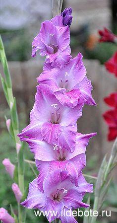 Garden Flowers - Annuals Or Perennials Gladiolus 'Blue Beauty' Gladiolus Wedding, Gladiolus Bouquet, Gladiolus Arrangements, Blue Plants, Exotic Plants, Exotic Flowers, Beautiful Flowers, Daffodils, Tulips