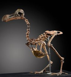 The first ever dodo skeleton is to be sold at auction today