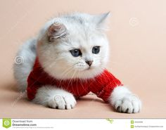 images of unusal cats | ... Free Stock Photos: Cat of the British breed. Rare coloring - a silver