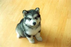 part pomeranian, park husky, all adorable. I WANT A PUSKY