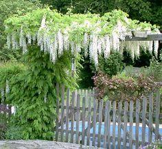 climbing white wisteria Garden Paths, Garden Landscaping, White Wisteria, Magnolia Farms, Water Resources, White Peonies, White Gardens, Fence Design, Climbers