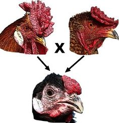 ... the inheritance patterns of chicken combs, a multiple allele trait