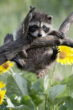 awww baby cute adorable nature smile sweet girly babies playful baby animals cute animals raccoon animal lover aniamls happy animals baby raccoon huston we have an uh-ho Cute Funny Animals, Cute Baby Animals, Animals And Pets, Happy Animals, Amazing Animals, Animals Beautiful, Baby Raccoon, Raccoon Animal, Photo Animaliere