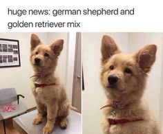 Golden shepherd...