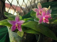 Phalaenopsis flower learn how to grow http://www.growplants.org/growing/phalaenopsis