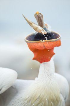 ~~Dalmation Pelican Fast Food by Gladys Klip~~