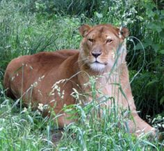 This lioness's name is Nala!!! She is at the Black Pine Animal Sanctuary with Mufasa!! #SO COOL!!