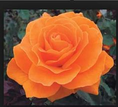 Vavoom rose. My personal fav