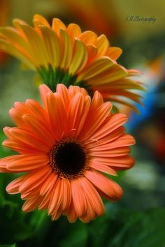 Gerbera in the garden by Nancy Morales on Beautiful Flower Quotes, Amazing Flowers, Beautiful Flowers, Daisy, Gerber Daisies, Flower Phone Wallpaper, Agaves, Exotic Plants, Belleza Natural