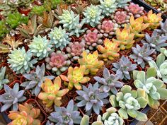 50 Succulents for your Wedding, Bridal or Wedding Shower, or Special Event