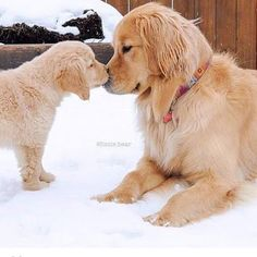 Golden Retriever Puppies Welcome home Ally! After a slightly rough ride home (par for the course I think) everything went really well. Cute Baby Dogs, Cute Little Puppies, Cute Dogs And Puppies, I Love Dogs, Pet Dogs, Doggies, Labrador Dogs, Dog Cat, Retriever Puppy